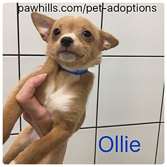 Chihuahua Mix Puppy for adoption in Agoura Hills, California - Ollie