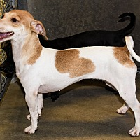 Adopt A Pet :: Taffy - Las Vegas, NV