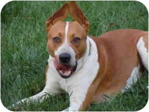 Australian Cattle Dog Mix Dog for adoption in Tujunga, California - Duke