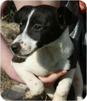 Jack Russell Terrier Mix Puppy for adoption in Windham, New Hampshire - Tara