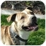 Photo 1 - American Pit Bull Terrier/American Pit Bull Terrier Mix Dog for adoption in Bellflower, California - Rainbow