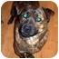 Photo 1 - English Bulldog/Chow Chow Mix Dog for adoption in Inman, South Carolina - Bowser