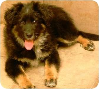 German Shepherd Dog/Newfoundland Mix Puppy for adoption in Oswego, Illinois - I'M ADOPTED Jaxson Wislund