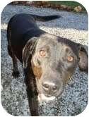 Labrador Retriever/Labrador Retriever Mix Dog for adoption in Brattleboro, Vermont - Ebony (REDUCED to $200!)