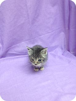 Domestic Shorthair Kitten for adoption in Orlando, Florida - Augustus