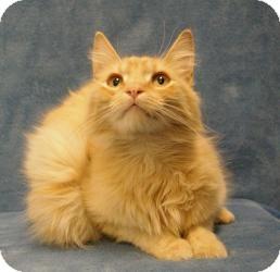 Domestic Mediumhair Cat for adoption in Sacramento, California - Brandon