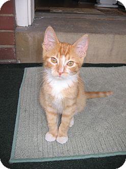 Domestic Shorthair Kitten for adoption in St. Louis, Missouri - Thriller
