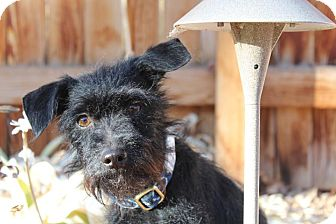 Fox Terrier (Wirehaired)/Terrier (Unknown Type, Small) Mix Dog for adoption in Broomfield, Colorado - Hope