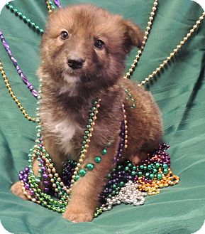 German Shepherd Dog/Border Collie Mix Puppy for adoption in Hammond, Louisiana - Stanly