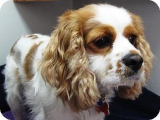 Cavalier King Charles Spaniel/Cocker Spaniel Mix Dog for adoption in Osseo, Minnesota - Riley