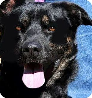 Labrador Retriever/Shepherd (Unknown Type) Mix Dog for adoption in Wakefield, Rhode Island - TOBY(PUT HIM TO SLEEP PLS READ