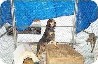 Bluetick Coonhound Dog for adoption in Hayden, Idaho - Drew