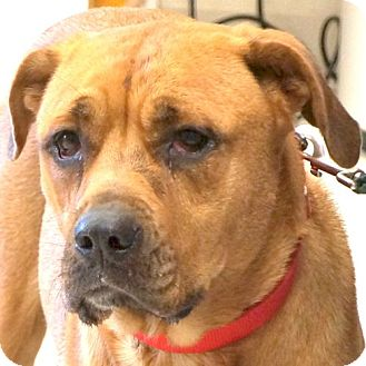 Rottweiler/Hound (Unknown Type) Mix Dog for adoption in Sprakers, New York - Faith
