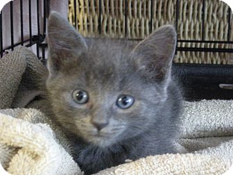 Domestic Mediumhair Kitten for adoption in Columbus, Ohio - Baby