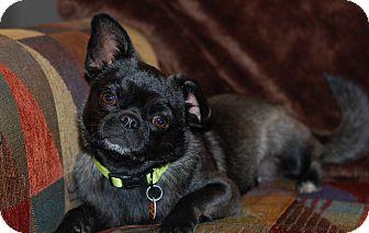 Pekingese/Pug Mix Dog for adoption in Hurst, Texas - Fidget