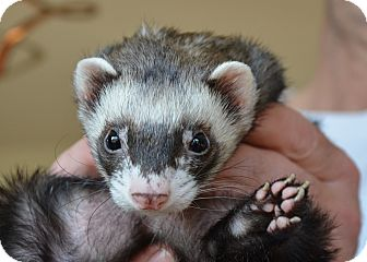 Ferret for adoption in Frederick, Maryland - Bandit