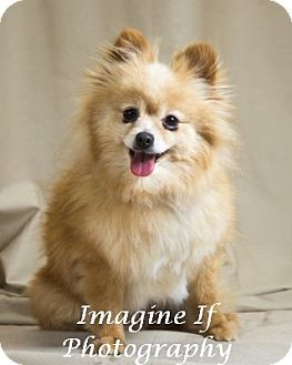 Pomeranian Dog for adoption in Norman, Oklahoma - Dixie