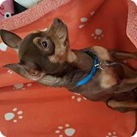 Adopt A Pet :: Sugar Brown - Marietta, GA