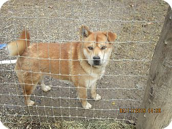 Chow Chow Mix Dog for adoption in Woodsfield, Ohio - Baby Girl