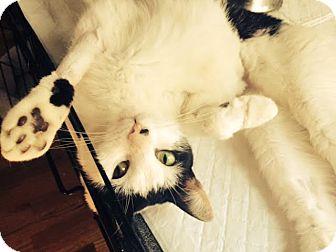 Domestic Shorthair Cat for adoption in Brooklyn, New York - Hudson