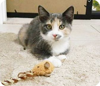 American Bobtail Kitten for adoption in Arlington/Ft Worth, Texas - Snickers