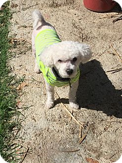 Miniature Poodle Mix Dog for adoption in Los Angeles, California - Fabio - WATCH MY VIDEO!