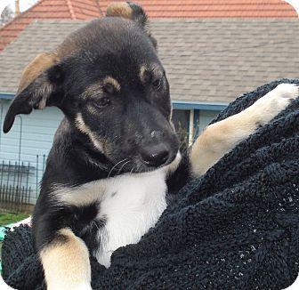 German Shepherd Dog/Husky Mix Puppy for adoption in Lincoln, Nebraska - Scout