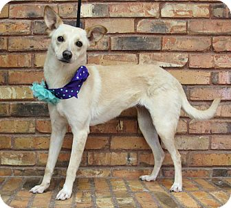 Terrier (Unknown Type, Small) Mix Dog for adoption in Benbrook, Texas - Milan