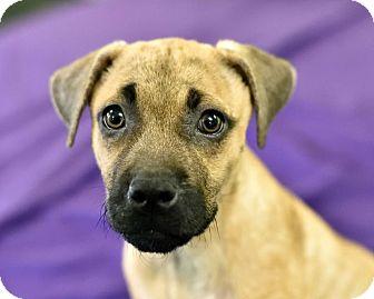 Beagle/German Shepherd Dog Mix Puppy for adoption in Newburgh, Indiana - Stella