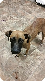 Boxer/German Shepherd Dog Mix Dog for adoption in Darlington, South Carolina - Dana
