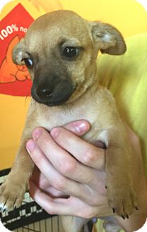 Chihuahua Puppy for adoption in Boca Raton, Florida - Roxie