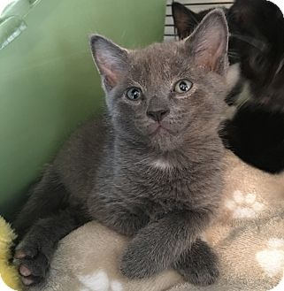 Russian Blue Kitten for adoption in Wayne, New Jersey - Radish