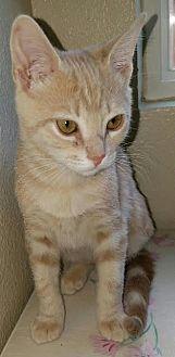 Domestic Shorthair Kitten for adoption in San Dimas, California - Tracy