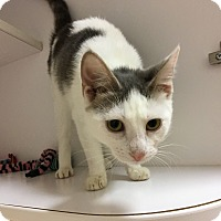 Adopt A Pet :: Bindi - Fountain Hills, AZ