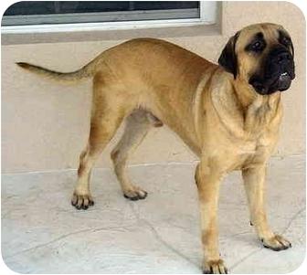 Bullmastiff Dog for adoption in North Port, Florida - Jack