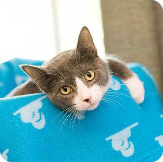 Domestic Shorthair Cat for adoption in Houston, Texas - Tessa