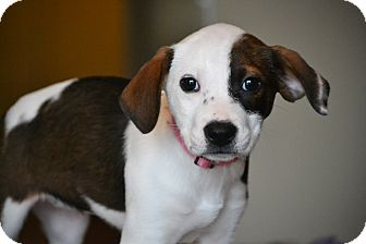 Beagle/Feist Mix Puppy for adoption in Hagerstown, Maryland - Dahlia
