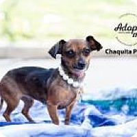 Adopt A Pet :: Chaquita Poquita - Shawnee Mission, KS