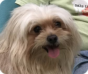 Shih Tzu Dog for adoption in Evansville, Indiana - Dante