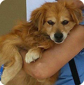 Spaniel (Unknown Type)/Golden Retriever Mix Dog for adoption in Canoga Park, California - Chief