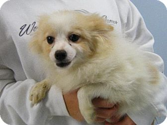 Pomeranian Puppy for adoption in Holland, Michigan - Rollins