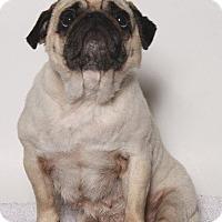 Adopt A Pet :: Gigi - Gardena, CA
