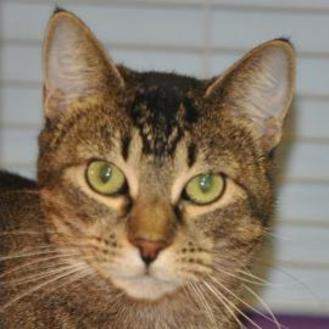 Domestic Shorthair/Domestic Shorthair Mix Cat for adoption in Tilton, Illinois - Lila
