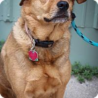 Shepherd (Unknown Type) Mix Dog for adoption in Martinsville, Indiana - Gemma