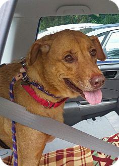 Labrador Retriever Mix Dog for adoption in Huntington, New York - Lorna Diamond - N