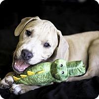 Adopt A Pet :: Jackson - Killeen, TX