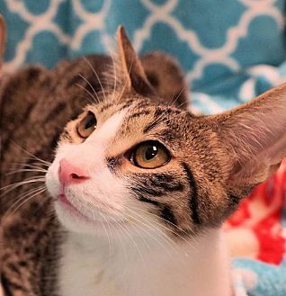 Domestic Shorthair Cat for adoption in Houston, Texas - Prince
