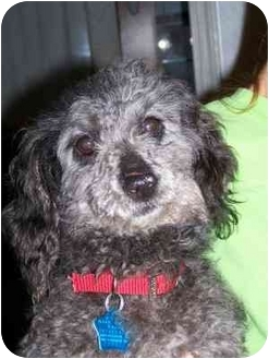 Poodle (Standard)/Dachshund Mix Dog for adoption in Franklin, Virginia - Wilma