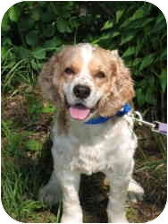 Cocker Spaniel Dog for adoption in Colchester, Connecticut - Freddie