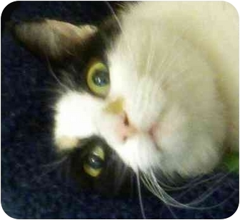 Domestic Shorthair Cat for adoption in Annapolis, Maryland - Dandelion
